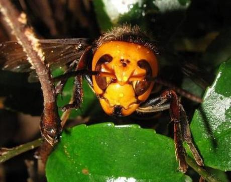 Female Vespa mandarinia japonica