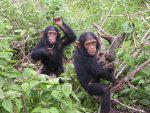 Young Chimps