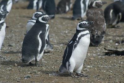 Penguins in Punta Arenas