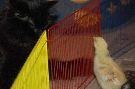 Pics of our chicks on day 11. They are getting their tail...