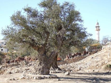 Expat Surprise: No Olive Oil in the Holy Land?