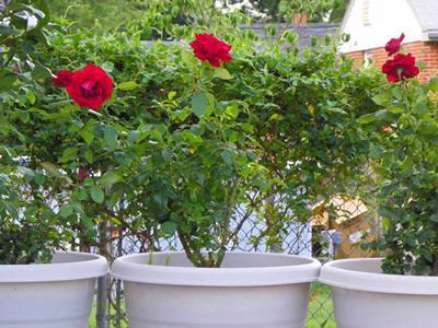 Flight 93 Roses