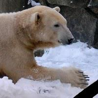 Celebrity polar bear Knut has died