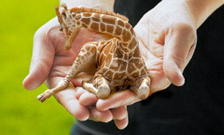 Petite Lap Giraffes