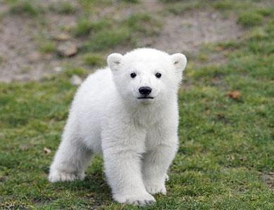 Mysterious death for Knut the bear
