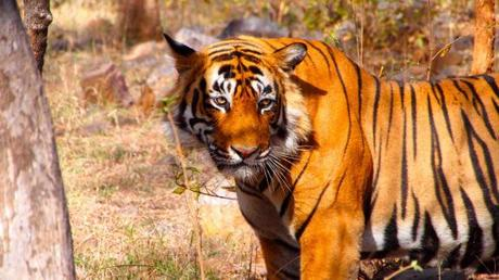 Good news for Tigers