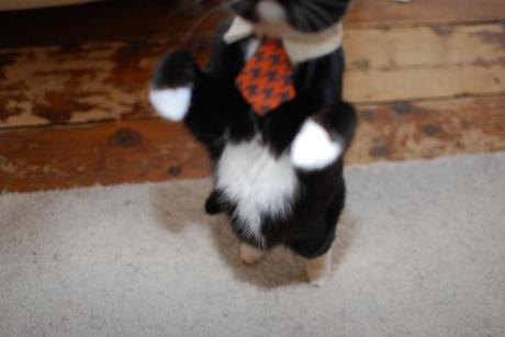 Cat in a tie