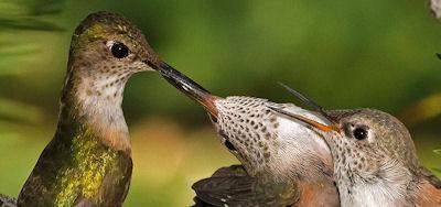 Baby Hummingbird Nest