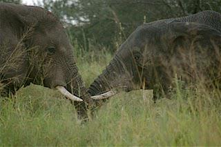 Elephant Ivory Project Update: