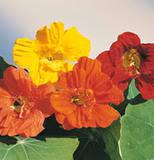 Edible Flower Recipes