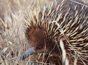 Featured Animal: Echidna