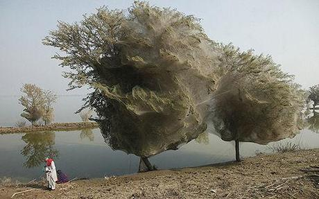 Pakistan Spiders Flee Floods In Trees