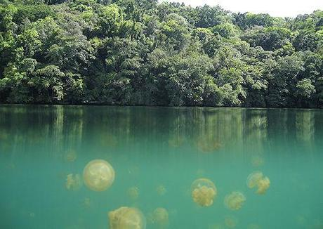 Jellyfish Lake - Daily Migration Of Millions
