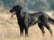 Featured Animal: Flat Coat Retriever