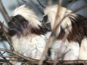 Featured Animal: Cottontop Tamarin