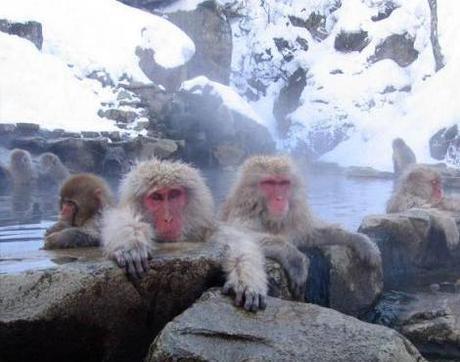 Japanese Macaques (Macaca fuscata), Jigokudani Hot Spring