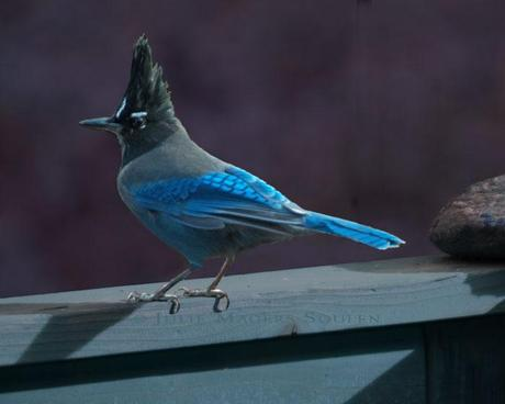 A brilliant blue Steller's Jay perches on a silvery blue fence rail in a night time midnight setting.