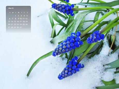 March 2011 free desktop wallpaper of royal blue grape hyacinths covered in snow.