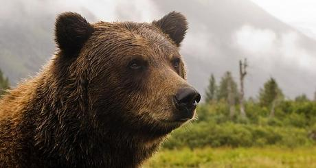Canadian adventure - grizzly bear
