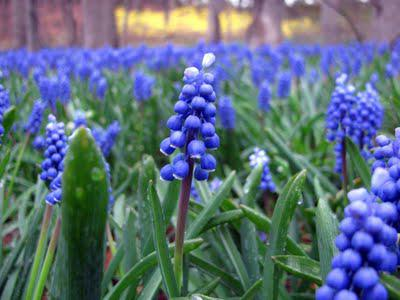 muscari in the woods and forsythia too...