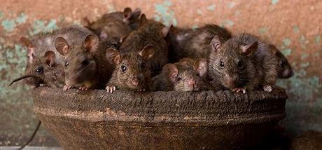 The Rat Temple Of Karni Mata