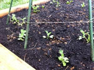 2011 Garden Beginnings