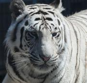 featured-animal-white-tiger-L- ...