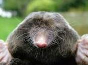 Featured Animal: Mole