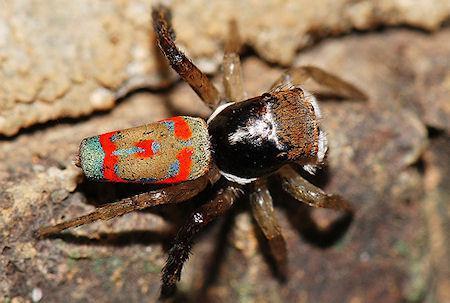 Peacock Spider - Australia's Show Off Super Hero Spider