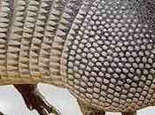 Everything Didn't Know About Armadillos