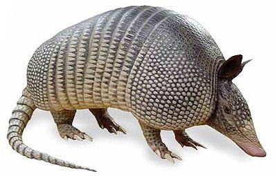 Everything You Didn't Know About Armadillos