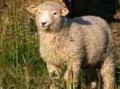 Featured Animal: Sheep