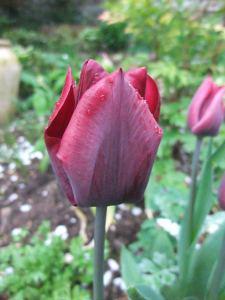 Tulips are go