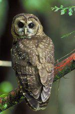 Threatened Spotted Owl