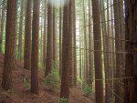 Redwood Cultivation