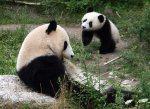 10 Month Old Panda