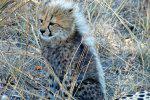 A Cheetah Cub