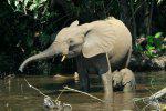 Elephant Calf With Mum