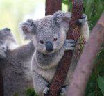 Young Koala In Tree
