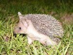 A Young Hedgehog
