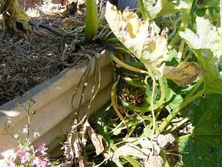 Cocozelle Zucchini