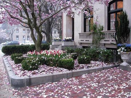 boston magnolia tree in spring