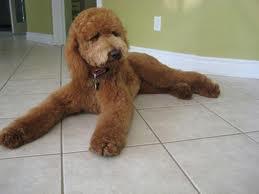 Puppy poodle Cut