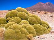 Yareta Alien Life Andes?