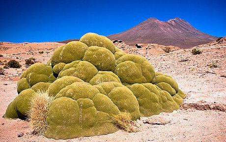 Yareta - Alien Life In The Andes?