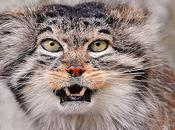 Manul That Time Forgot