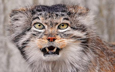 Manul - The Cat That Time Forgot