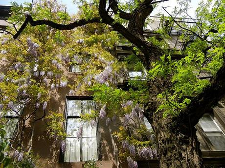 An afternoon walk down 21st Street  shows the wisteria  a...