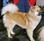 Ainu Dog