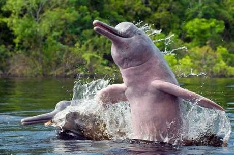 Return of the pink dolphins